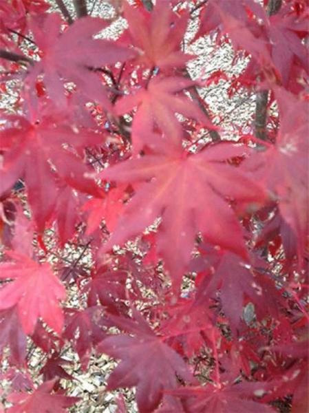 Acer palmatum 'Atropurpureum' auf Stamm / Roter Fächerahorn / Japanischer Ahorn