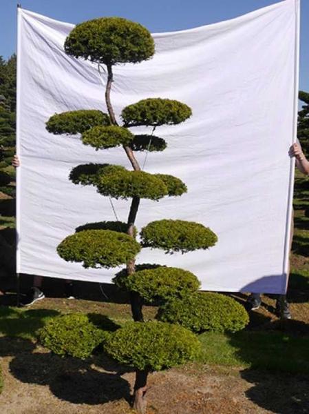 Taxus baccata 'Semperaurea' H: 230 cm B: 120 cm / Garten-Bonsai (0132)
