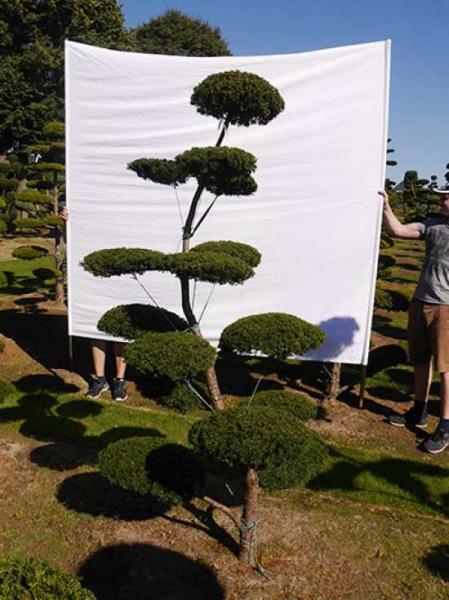 Taxus baccata H: 230 cm B: 120 cm / Garten-Bonsai (0128)