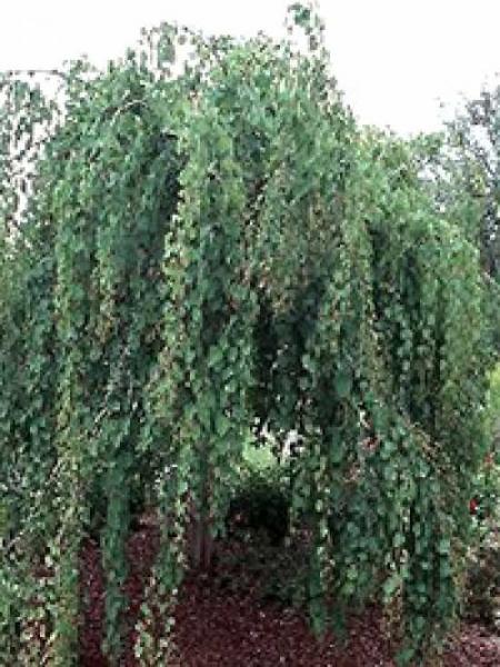 Cercidiphyllum japonicum 'Amazing Grace' / Katsurabaum 'Amazing Grace' / Judasblatt 'Amazing Grace'