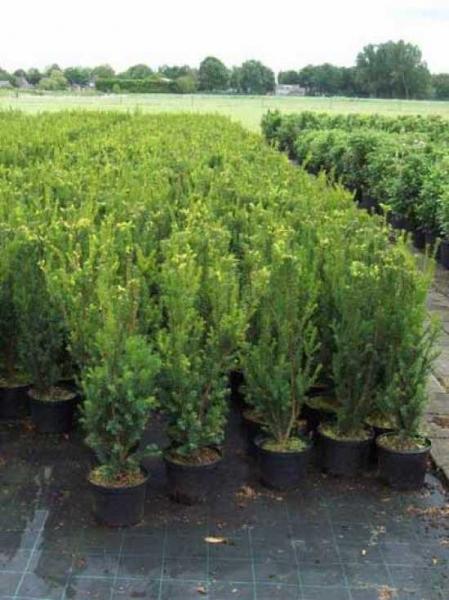 Taxus media 'Hillii' / männliche Bechereibe 60-80 cm im 4-Liter Container