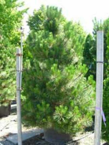 Pinus nigra austriaca / Österreichische Schwarzkiefer