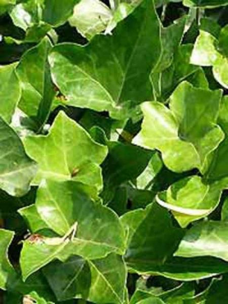 hedera hibernica hedera helix 39 hibernica 39 gro bl ttriger irischer efeu g nstig kaufen