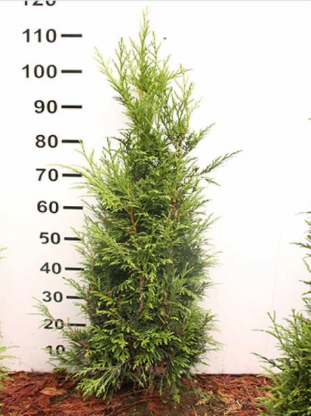 Thuja plicata 'Excelsa' / Lebensbaum 'Excelsa' 100-125 cm mit Ballierung
