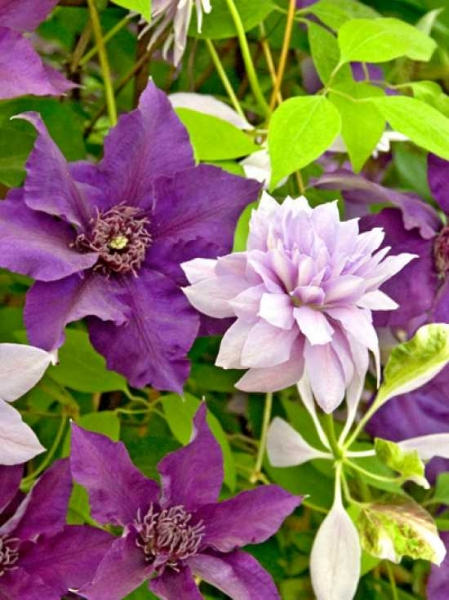 Clematis Hybride 'Denny's Double' / Waldrebe 'Denny's Double'