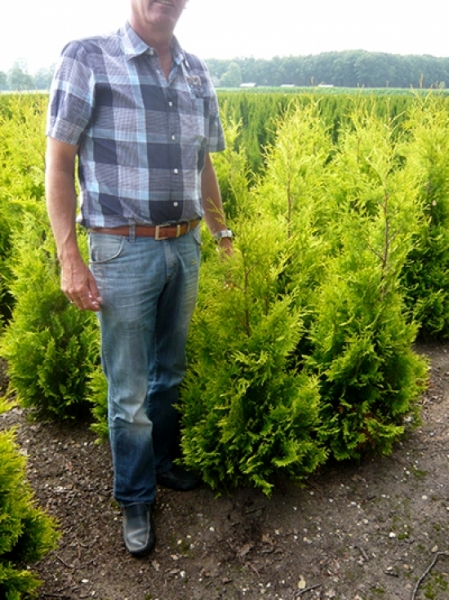 Thuja occidentalis 'Yellow Ribbon' / Lebensbaum 'Yellow Ribbon' 80-100 cm mit Ballierung
