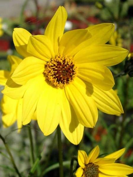 Helianthus orgyalis / Weidenblättrige Sonnenblume