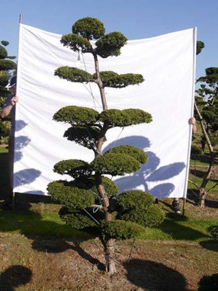 Taxus baccata 'Semperaurea' H: 240 cm B: 130 cm / Garten-Bonsai (0202)