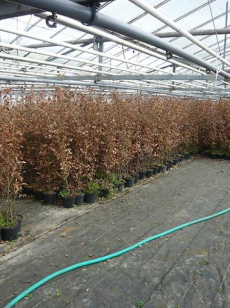 Scharlacheiche Scharlach-Eiche Quercus coccinea 125-150 cm im Container