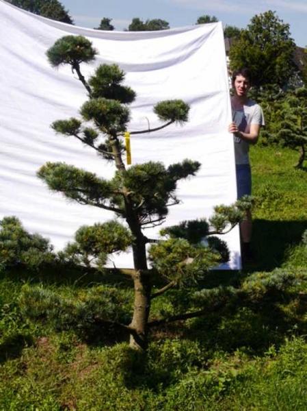 Pinus parviflora 'Negishi' H: 190 cm B: 200 cm / Garten-Bonsai (205113)