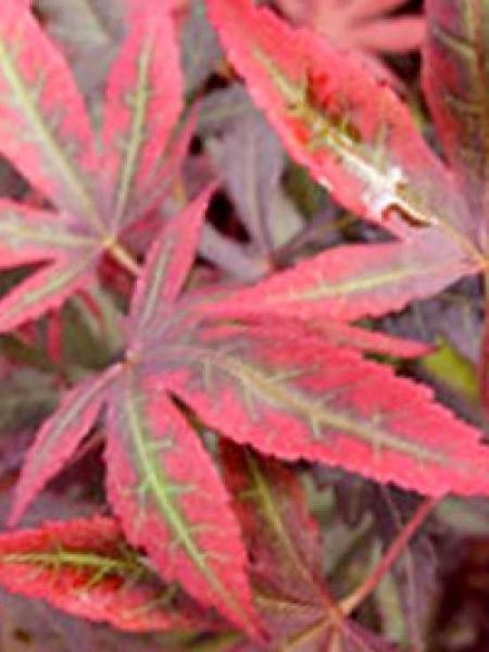 Acer palmatum 'Sumi-nagashi' / Japanischer Fächerahorn 'Sumi-nagashi'