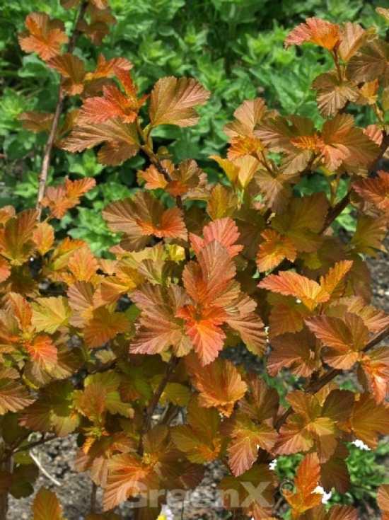 physocarpus opulifolius 39 amber jubilee 39 blasenspiere. Black Bedroom Furniture Sets. Home Design Ideas
