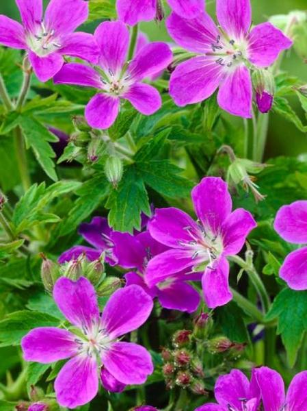 Geranium sylvaticum 'Mayflower' / Garten-Storchschnabel