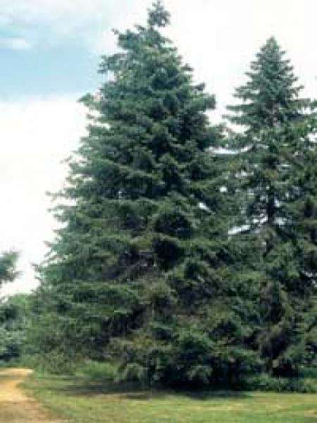 Abies grandis / Küstentanne / Riesentanne