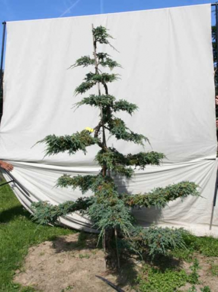 Juniperus squamata 'Blue Carpet' H: 220 cm B: 170 cm / Garten-Bonsai (306127)