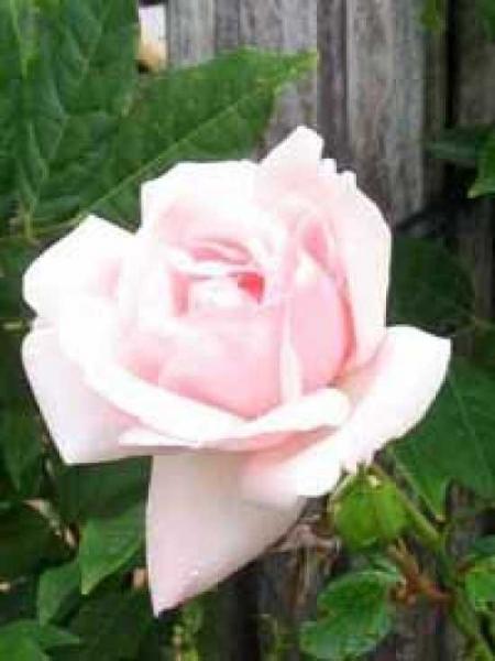 Rosa 'New Dawn ®' / Kletterrose 'New Dawn'