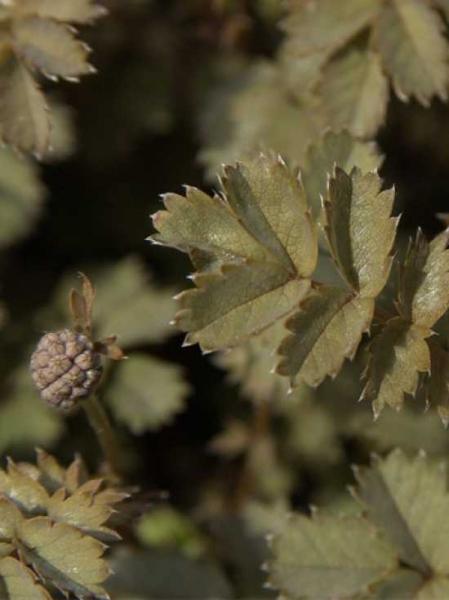 Acaena microphylla 'Grauer Zwerg' / Stachelnüßchen 'Grauer Zwerg'