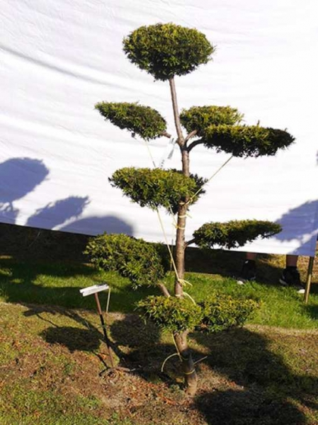 Taxus baccata 'Semperaurea' H: 150 cm B: 90 cm / Garten-Bonsai (0216)