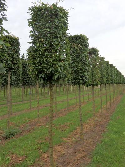 Carpinus betulus 'Kubus'  / Hainbuche H:120 B:60 T:60 cm (180 cm Stamm)