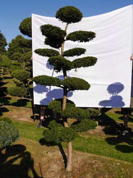 Taxus baccata H: 280 cm B: 120 cm / Garten-Bonsai (0214)