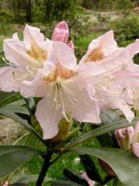 Rhododendron Hybride 'Cunningham's Blush' / Rhododendron 'Cunningham's Blush'
