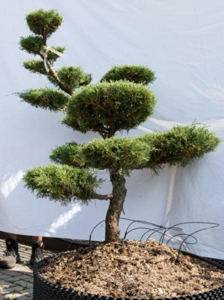 Juniperus media 'Hetzii' H: 140 cm B: 120 cm / Garten-Bonsai (633)