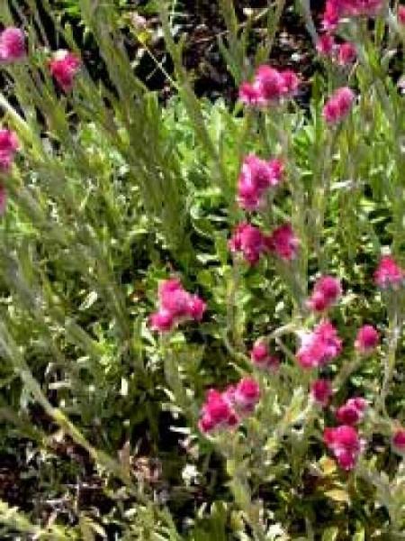 Antennaria dioica 'Rubra' / Katzenpfötchen