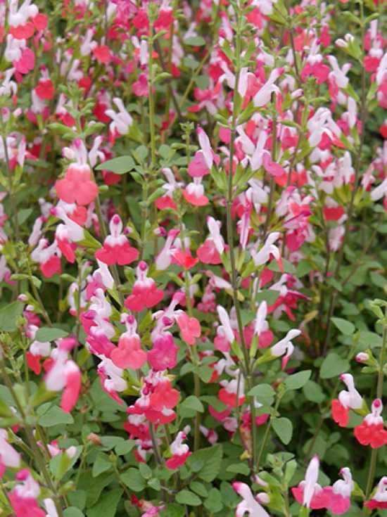 Salvia Microphylla Hot Lips Salbei Günstig Kaufen