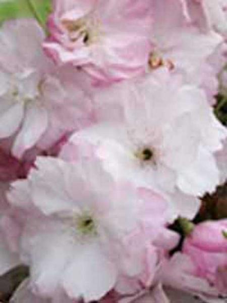 Prunus serrulata 'Fugenzo' / Zierkirsche 'Fugenzo'