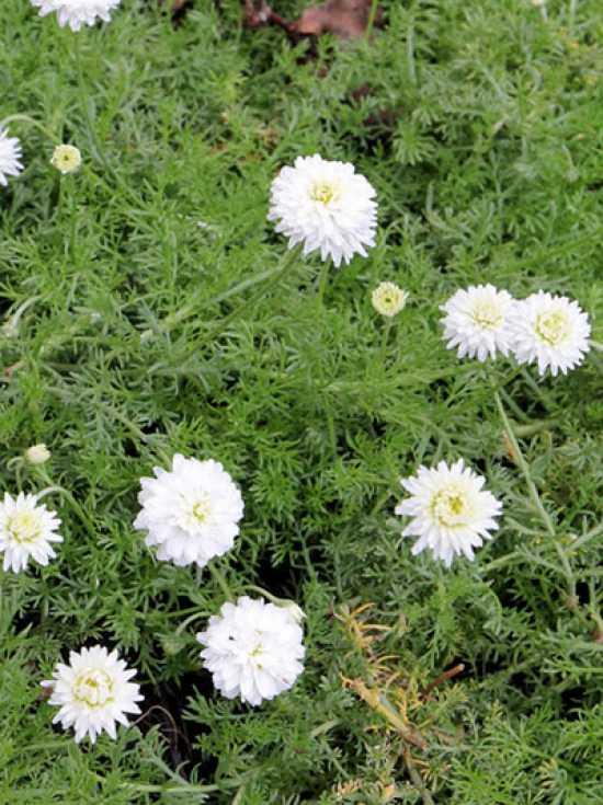 Top Chamaemelum nobile 'Plena' / Gefüllte Römische Kamille 'Plena #HH_34