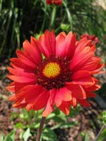 Gaillardia 'Burgunder' / Garten-Kokardenblume