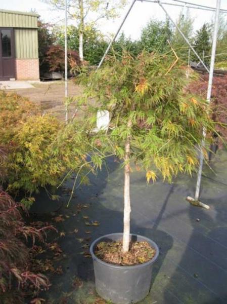 Acer palmatum 'Dissectum Ornatum' auf Stamm / Acer palmatum 'Dissectum Atropurpureum' / Roter Schlitz-Ahorn auf Stamm / Roter Schlitz-Ahorn