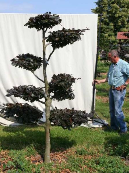 Fagus sylvatica 'Purpurea' H: 230 cm B: 150 cm / Garten-Bonsai (701125)