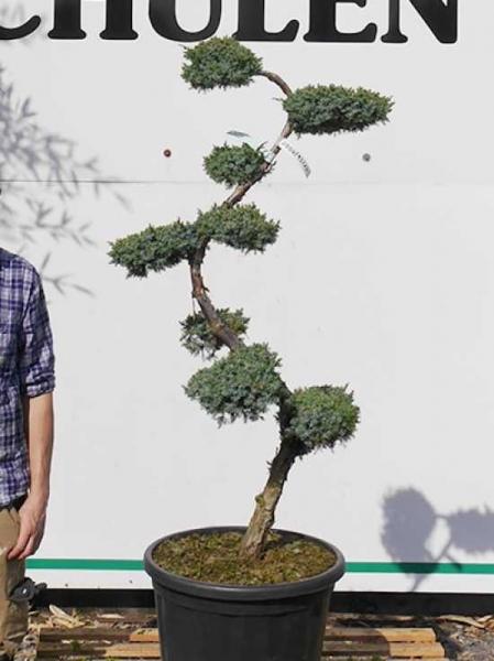 Juniperus chinensis 'Blue Alps' H: 100-125 cm / Garten-Bonsai (2504)