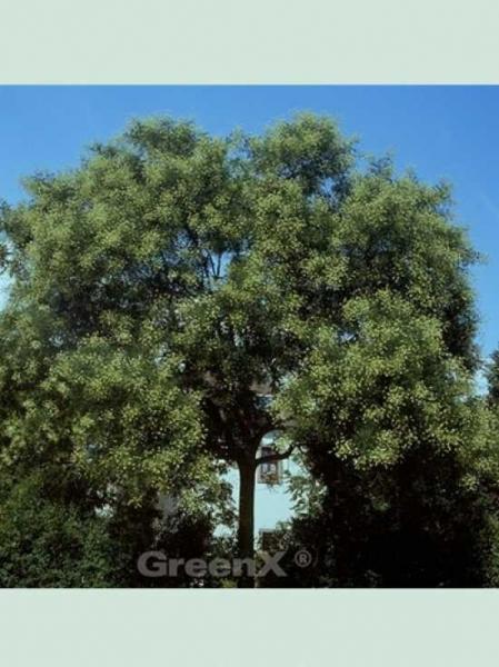 Sophora japonica / Japanischer Schnurbaum / Perlschnurbaum / Honigbaum