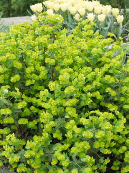 Euphorbia charam 'Red Wing' / Wolfsmilch