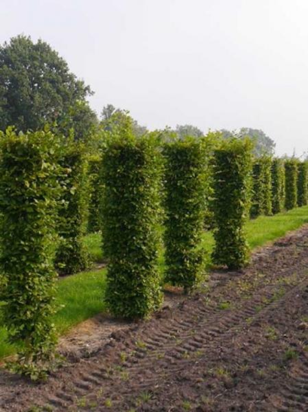 Carpinus betulus / Hainbuche / Fertighecke / Heckenelement 250 cm x 50 cm x 50 cm