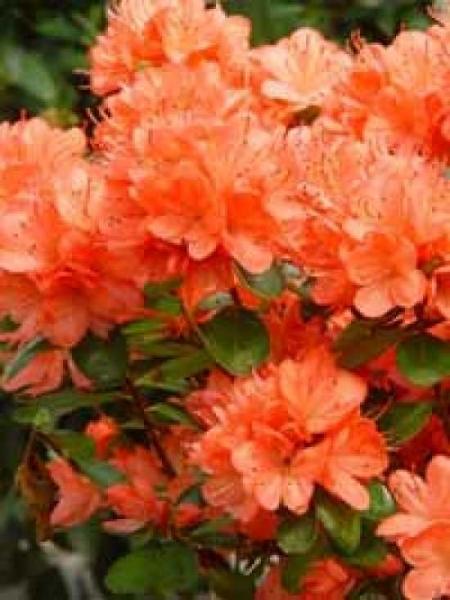 Rhododendron obtusum 'Rex' / Japanische Azalee 'Rex'