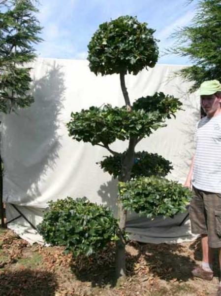 Fagus sylvatica H: 230 cm B: 130 cm / Garten-Bonsai (0441307)