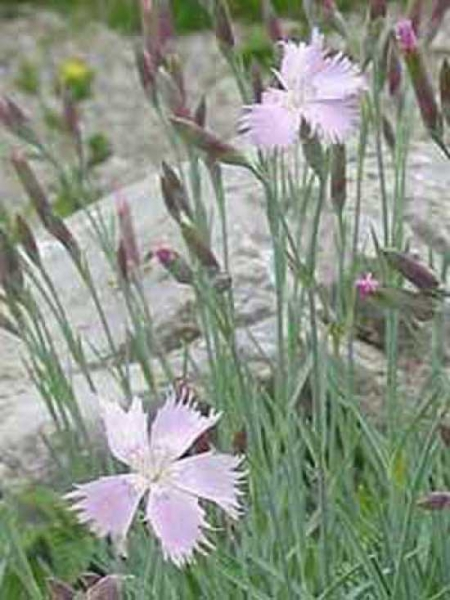 Dianthus plumarius / Federnelke