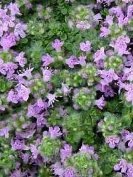 Thymus Praecox Pseudolanguinosus Garten Thymian Woll Thymian