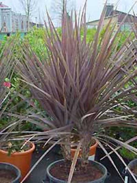 Cordyline australis 'Atropurpurea' / Keulenlilie 'Atropurpurea'