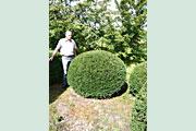 Taxus_baccata_kugel_150-160