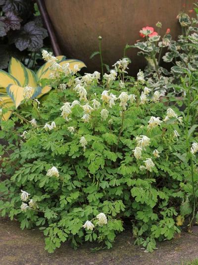 Corydalis ochroleuca / Gelblichweißer Lerchensporn