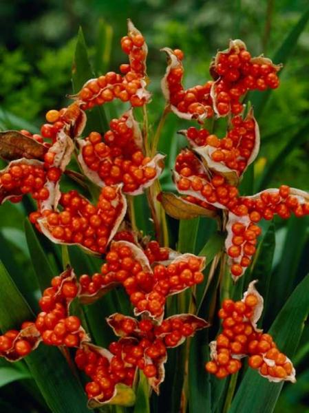Iris foetidissima / Stinkende Schwertlilie