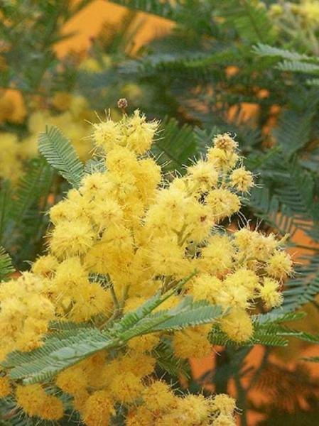 Acacia dealbata 'Mirandole' / Silber-Akazie 'Mirandole'