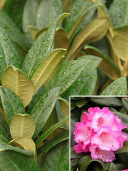 Rhododendron Hybride 'Arktis' / Rhododendron 'Arktis'