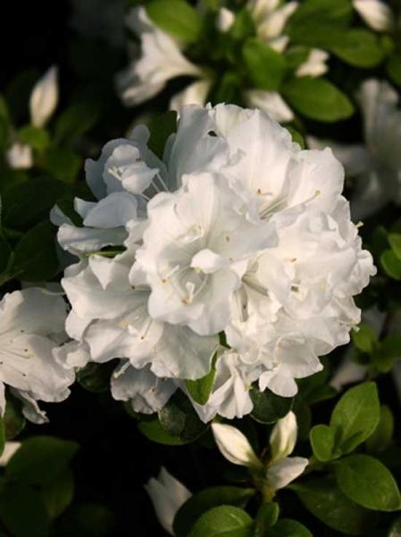 Rhododendron obtusum 'Tananami' / Japanische Azalee 'Tananami'