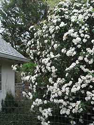 Viburnum burkwoodii / Immergrüner Duft-Schneeball