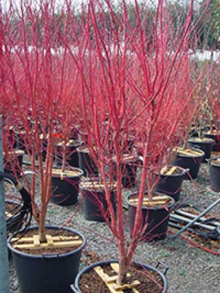 Acer Palmatum Red Wood Japanischer Fächerahorn Red Wood